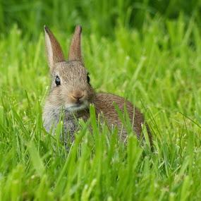 Happy Bunny... by Griff Johnson - Animals Other Mammals ( rabbit, kitten, animals, grass, baby )