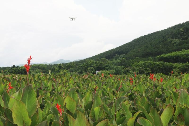 Chụp ảnh cánh đồng dong riềng từ trên cao