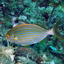 Salema porgy