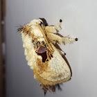Bird-Dropping Slug Moth