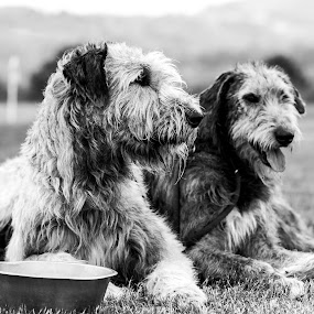 Irish wolfhound by Magdalena Sikora - Black & White Animals ( wolfhound, dog show )