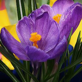 Crocus by Millieanne T - Flowers Flowers in the Wild