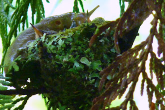 Photo: Banana Slug climbing on top of a nest with two Rufous Hummingbird chicks: http://www.sierraclub.bc.ca/education/ecomap/coasts-mountains/1banslug