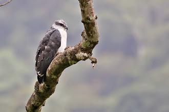 Photo: Gray-backed Hawk