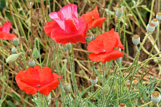 Photo: poppies