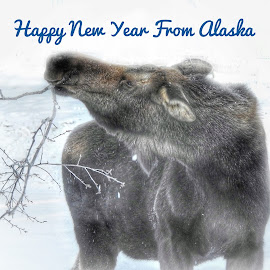 Happy New Year by Patricia Phillips - Typography Captioned Photos ( alaska wildlife moose winter new years eve )