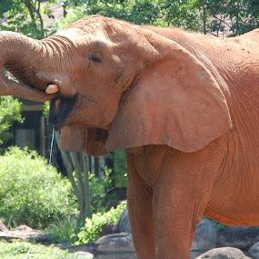 Elephant by Angel Harvey - Novices Only Wildlife ( elephant )