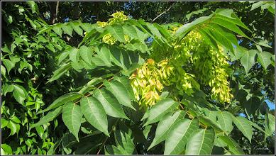 Photo: Cenușer (Ailanthus altissima) - din Piata Romana, zona fostei fabrici de bere - 2017.07.18