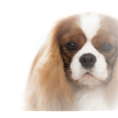 Cavalier Specialty Dog Show.