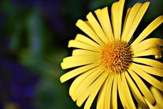 Photo: Doronicum - prints & cards here - http://www.inspiraimage.com/index.php/gallery/flowers/219-yellow-doronicum