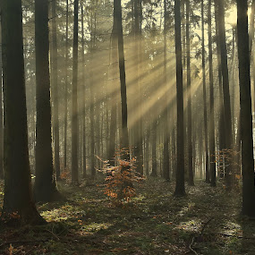 forest light morning ... by František Valčík - Landscapes Sunsets & Sunrises