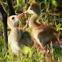 Sandhill Crane (chicks)