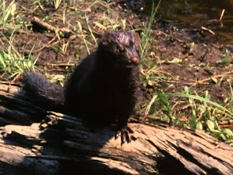 Otters of the Adirondacks