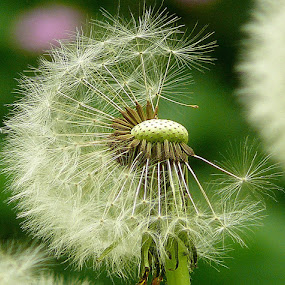Dandelion by Dunja Dretvić - Nature Up Close Flowers - 2011-2013