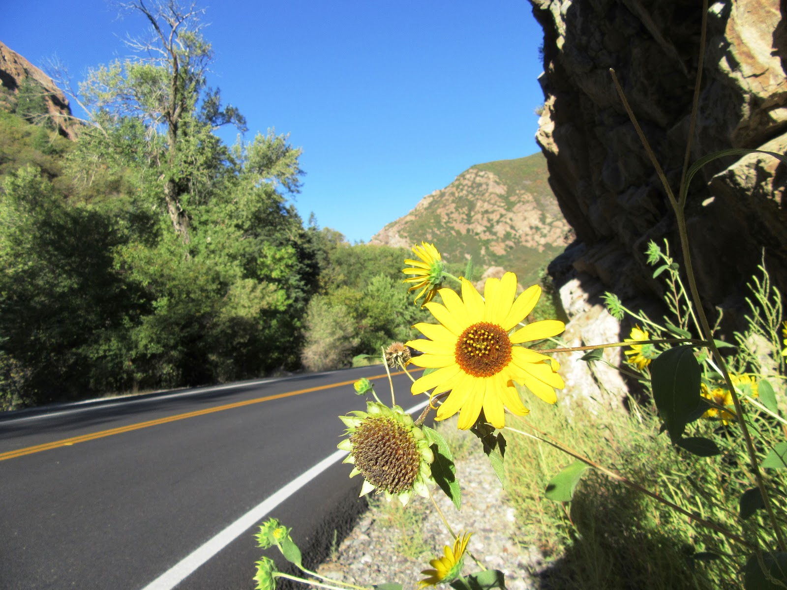Daisy flowers on Hwy 190 Big Cottonwood Canyon cycle climb