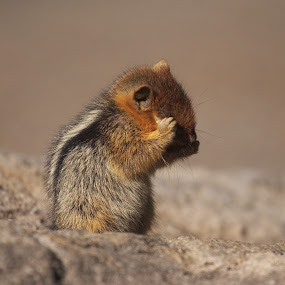 Yeah, I Know I'm Cute - Golden-Mantled Ground Squirrel by Andrew Johnson - Animals Other Mammals (  )