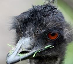 Photo: Year 2 Day 153 -  Emily the Emu