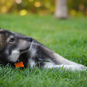 by Viks Pix - Animals - Dogs Puppies ( german, husky, laying, wolf, lay, relaxing )