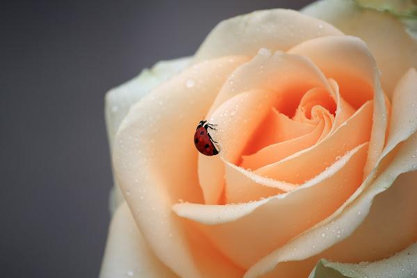rosa coccinella di Foxma
