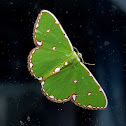 White-Spotted Emerald