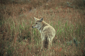 Photo: Coyote in Yellowstone National Park, Wyoming
