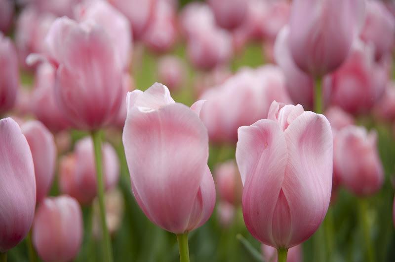 Tulips di gabrielecollini
