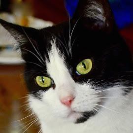 Molly by Joe Fazio - Animals - Cats Portraits (  )