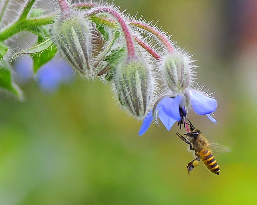 Borago officinalis by Leka Huie - Flowers Single Flower (  )