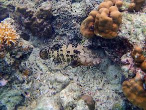 Photo: Epinephelus fuscoguttatus (Brown Marbled Grouper), Miniloc Island Resort reef, Palawan, Philippines.