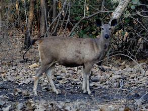 Photo: Sambar deer on the alert