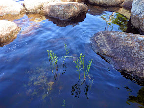 Photo: July 22. Water Parsnip, Sium suave