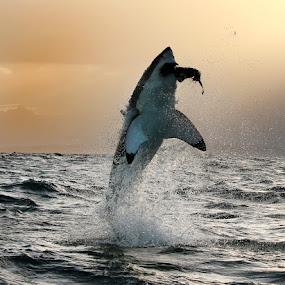 'No Escape' by Dave Roberts - Animals Sea Creatures ( great white sharks, apex, shark breach, predators,  )