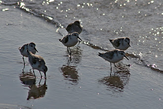 Photo: For #BirdPoker : Family curated by +Phil Armishaw  A small group of Sanderlings comb the tip at Point Pelee before heading further south.