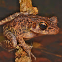 Brown Kerangas (Marsh) Frog