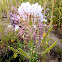 Redwhisker Clammyweed
