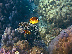 Photo: a pair of racoon butterflyfish