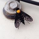 Golden-back snipe fly