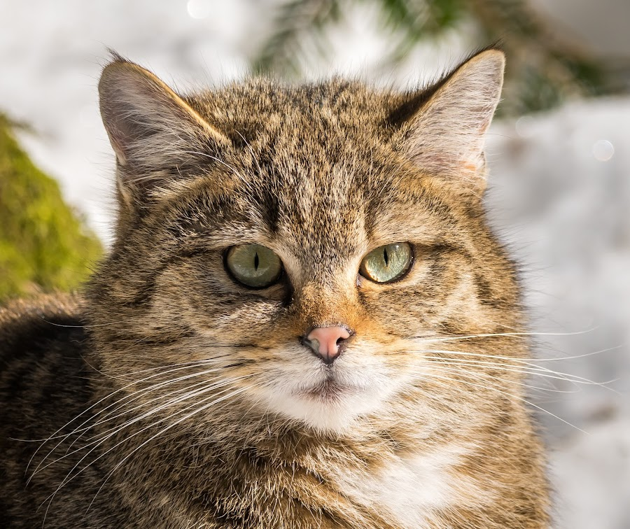 The look by Andrej Kozelj - Animals - Cats Portraits ( looking, look, cats, cat, winter, nature, natural )