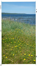 Photo: Field of dandelion by the beach.