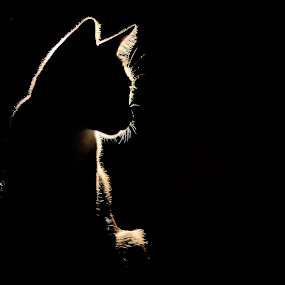 Cat Silhouette by Leanne Adams - Animals - Cats Portraits ( cat, silhouette, dark, outline, light )