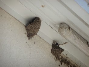 Photo: Swallows nesting underneath the roof. Can be seen all around Lake Velence in Hungary. Sometimes they come and have a drink in the pool of wheelchair accessible holiday home Szabadsag.