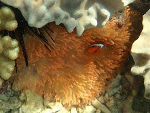 Photo: Amphiprion frenatus (Tomato Clownfish), Entacmaea quadricolor (Rare Rose Bubble Anemone), Panglao Island, Philippines