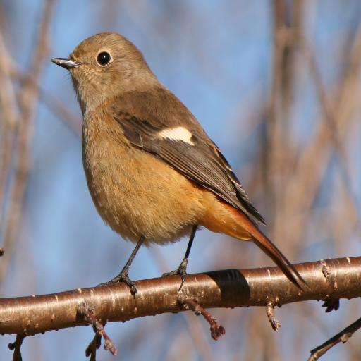 鳥鳴き声ジョウビタキ 娛樂 App LOGO-硬是要APP