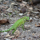 Common Green Forest Lizard