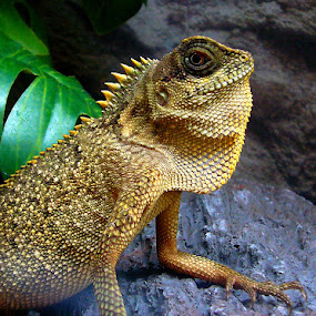 Lizards by Peggy LaFlesh - Animals Amphibians ( lizard )