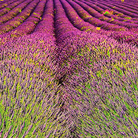 Lavender by Kevin Morris - Flowers Flowers in the Wild