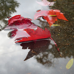 Leaves From a Red Maple by Marcia Taylor - Nature Up Close Leaves & Grasses (  )