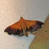 Bicolored Pyrausta Moth