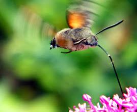 """Photo: Le papillon """"Moro-sphinx"""" en vol stationnaire au-dessus d'une fleur de centranthe rouge.  Bonne soirée."""