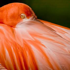 Zoo Flamingo by Russ Crane - Animals Birds ( bird, nature, zoo, flamingo, pink )